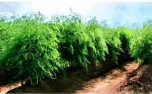 как вырастить спаржу на огороде, как вырастить спаржу из семян