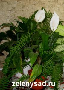 женский цветок спатифиллум как ухаживать