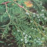 Микробиота перекрестнопарная: посадка и уход, использование в ландшафтном дизайне