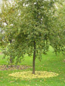 как пересадить взрослую яблоню