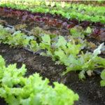 Как вырастить семена салата самому