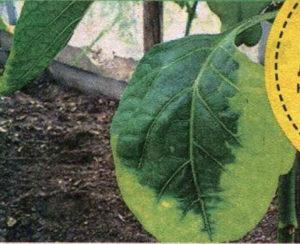 у перца желтеют листья, у перца опадают листья