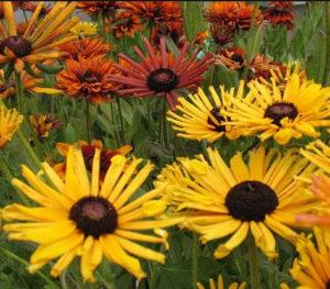 рудбекия многолетняя, рудбекия выращивание из семян, рудбекия сорта, рудбекия многолетняя посадка и уход