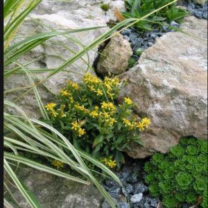 цветок золотарник, золотарник или солидаго