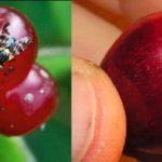 Вишневая муха: методы борьбы