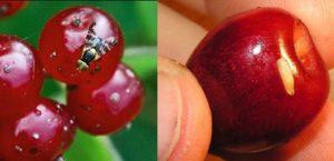 вишневая муха меры борьбы, как избавиться от вишневой мухи, препараты от вишневой мухи