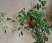 Неприхотливый комнатный цветок: березка или роицисусс