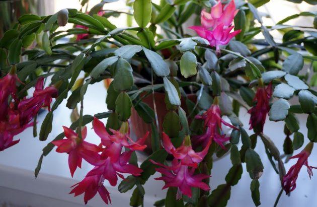 цветок декабрист уход в домашних условиях
