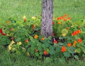Клумба в приствольном круге: какие цветы посадить под деревьями