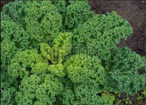 капуста кале выращивание