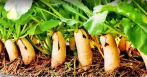 когда сажать дайкон, когда сажать дайкон в открытый грунт семенами
