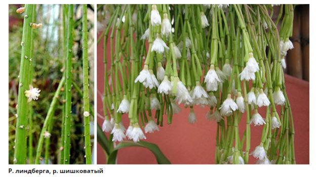 кактусы без колючек