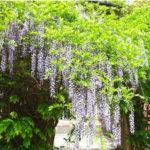 Глициния: уход и выращивание