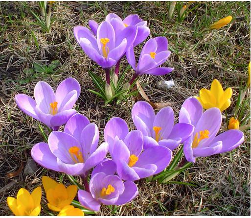 как вырастить крокусы в саду