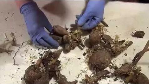 как правильно посадить георгины