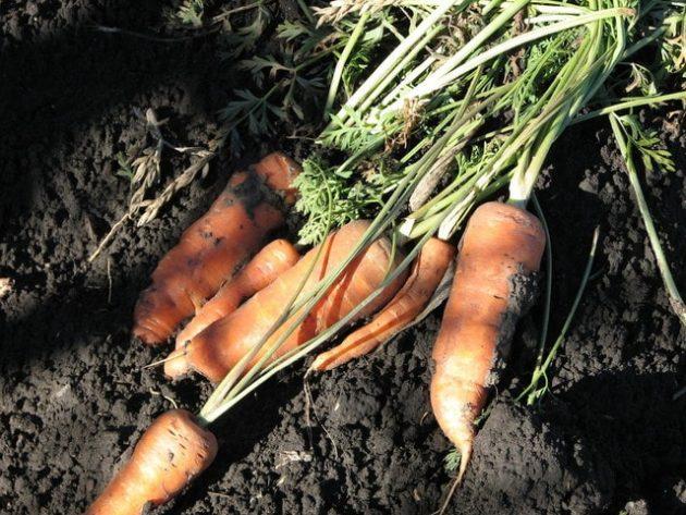 сохранить морковь на зиму