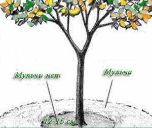 посадка яблонь на холмики