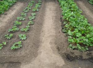Как правильно посадить клубнику на грядке