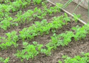 как посадить морковь, чтобы быстро взошла