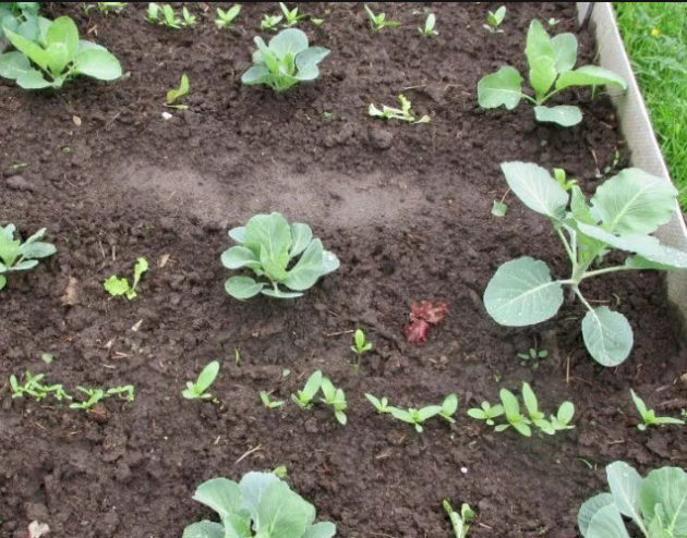 как вырастить брюссельскую капусту