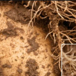 Картофельная нематода: признаки и меры борьбы