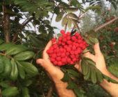 Сладкая рябина: сорта, особенности выращивания и размножения