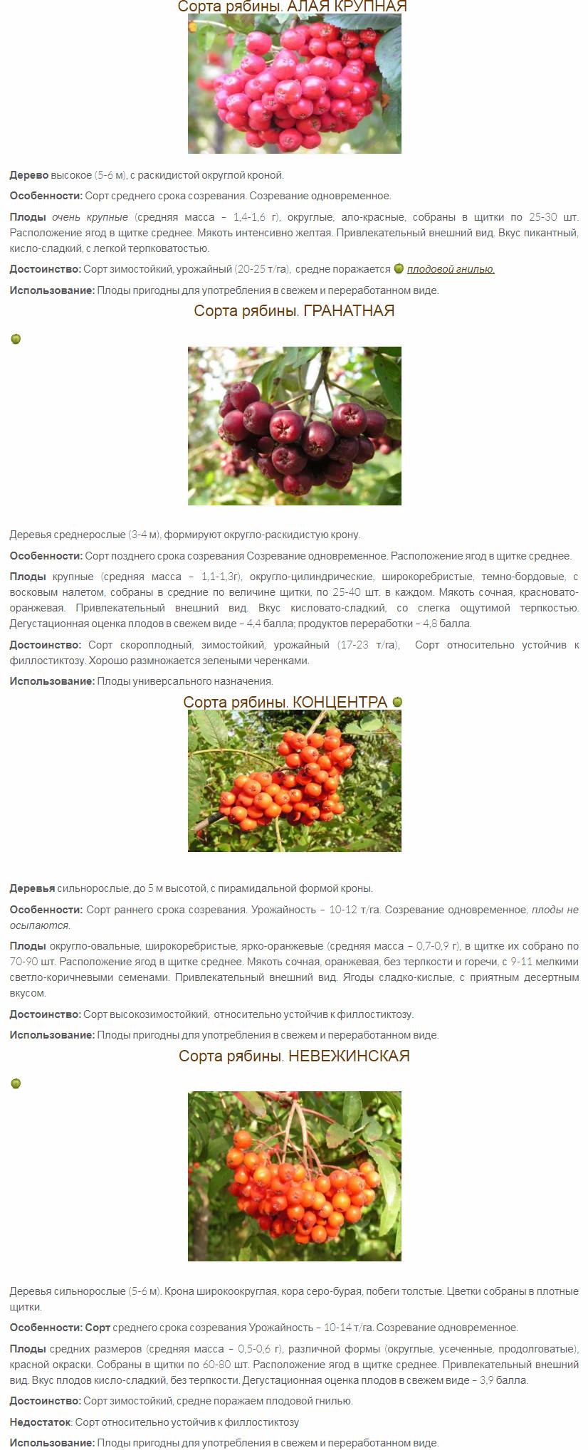 Большинству людей знакомы горькие ягоды рябины, но выведены сорта сладкой рябины, плоды которые можно употреблять в свежем виде, приготавливать варенье, джемы, компоты. Ценность таких ягод - в высоком содержании биологически активных веществ и целого ряда витаминов А, С, Р и др. Сладкие рябины начинают приобретать все большую популярность. Сладкие плоды у рябин бузинолистной, моравской, финляндской. Очень популярна разновидность рябины обыкновенной - Невежинская. Она была найдена в лесу у села Невежино Владимирской области еще в XIX веке. Разводят следущие сорта сладкой рябины Невежинской: Кубовая, Желтая, Красная, Сахарная, Крупноплодная. Интерес представляют и сорта, отобранные И. В. Мичуриным и его последователями: Ликерная, Гранатная, Десертная, Бурка, Красавица, Рубиновая, Титан, Алая крупная. Наиболее часто встречаются в продаже следующие сорта Как вырастить сладкие сорта рябины Размножают рябину семенами, прививкой, отводками, корневыми отпрысками и зелеными черенками. Видовые рябины размножают посевом семян. Высевают свежесобранные плоды с косточками в октябре на глубину 3-4 см. Всходы появляются весной. Сеянцы зацветают и начинают плодоносить на 6-7-й год. Привитые саженцы плодоносят на 4-5-й год. В своем саду развожу рябину Финскую. У нее красивая крона, полуперистые листья. Плоды крупные, удлиненной формы, красные, кисловато-сладкого вкуса, несколько мучнистые. Убедился, что это замечательное зимостойкое и урожайное растение. Плоды пропускаем через мясорубку и варим вкусное варенье.