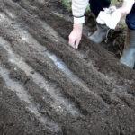 Как посадить морковь чтобы не прореживать: 4 лучших способа