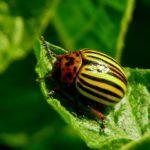 Способы и средства борьбы с колорадским жуком