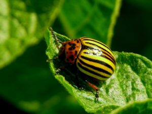 средства борьбы с колорадским жуком, способы борьбы с колорадским жуком