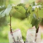 Как выбрать виноград для посадки: выбираем саженцы весной