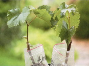 как выбрать виноград для посадки