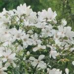Магнолии в Подмосковье: подходящие сорта и сроки цветения