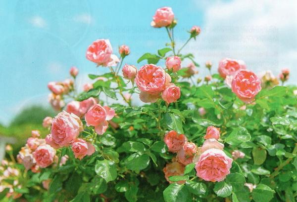 черная пятнистость на розах