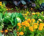 Какие цветы в огороде посадить: 7 лучших цветов для огорода