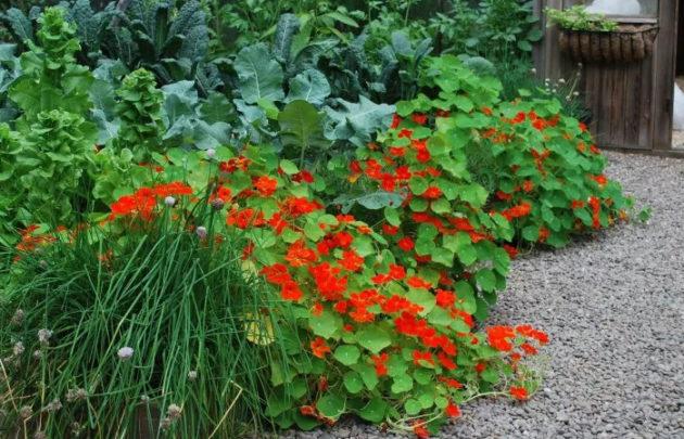 цветы в огороде