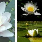 Как вырастить кувшинки в пруду