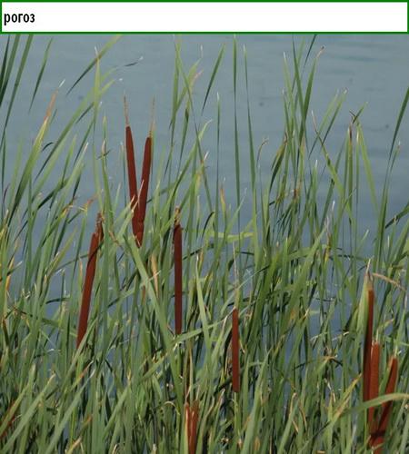 растения для пруда на даче