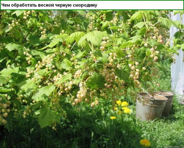 Чем обработать весной черную смородину
