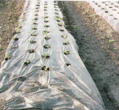 как посадить рассаду огурцов в открытый грунт