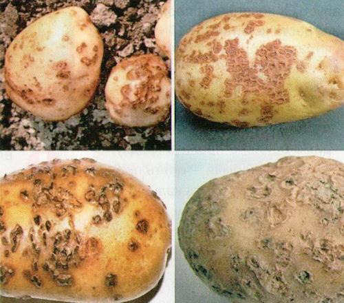как избавиться от парши на картофеле