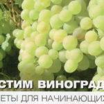 Как посадить виноград в Подмосковье: советы для начинающих