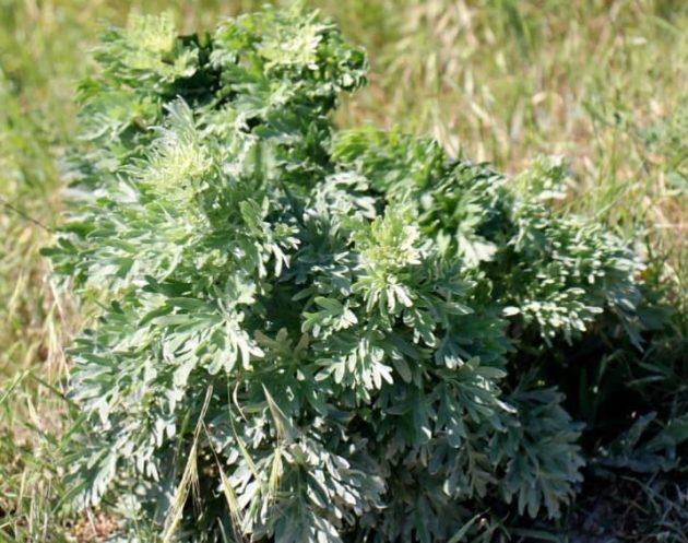 съедобные сорняки