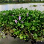 Эйхорния (водяной гиацинт)  не даст воде зацвести!