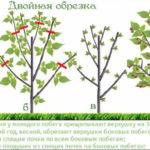 Обрезка малины летом удвоит урожай!