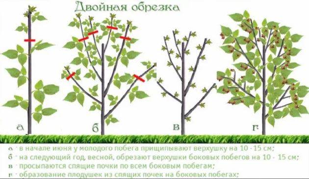 обрезка малины летом