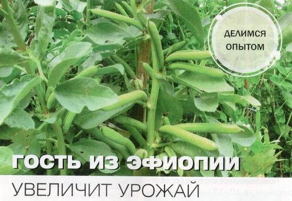 бобы выращивание и уход в открытом грунте
