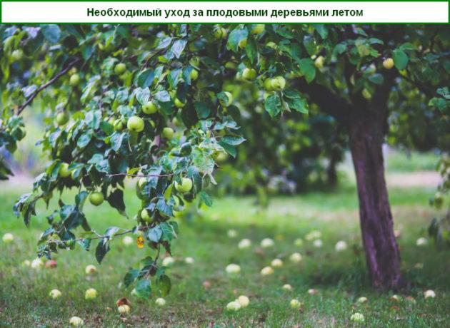 уход за плодовыми деревьями летом