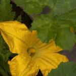 Нужно ли обрывать мужские цветы у кабачков?