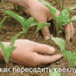 Пересадка свеклы при прореживании всходов и при выращивании рассадой